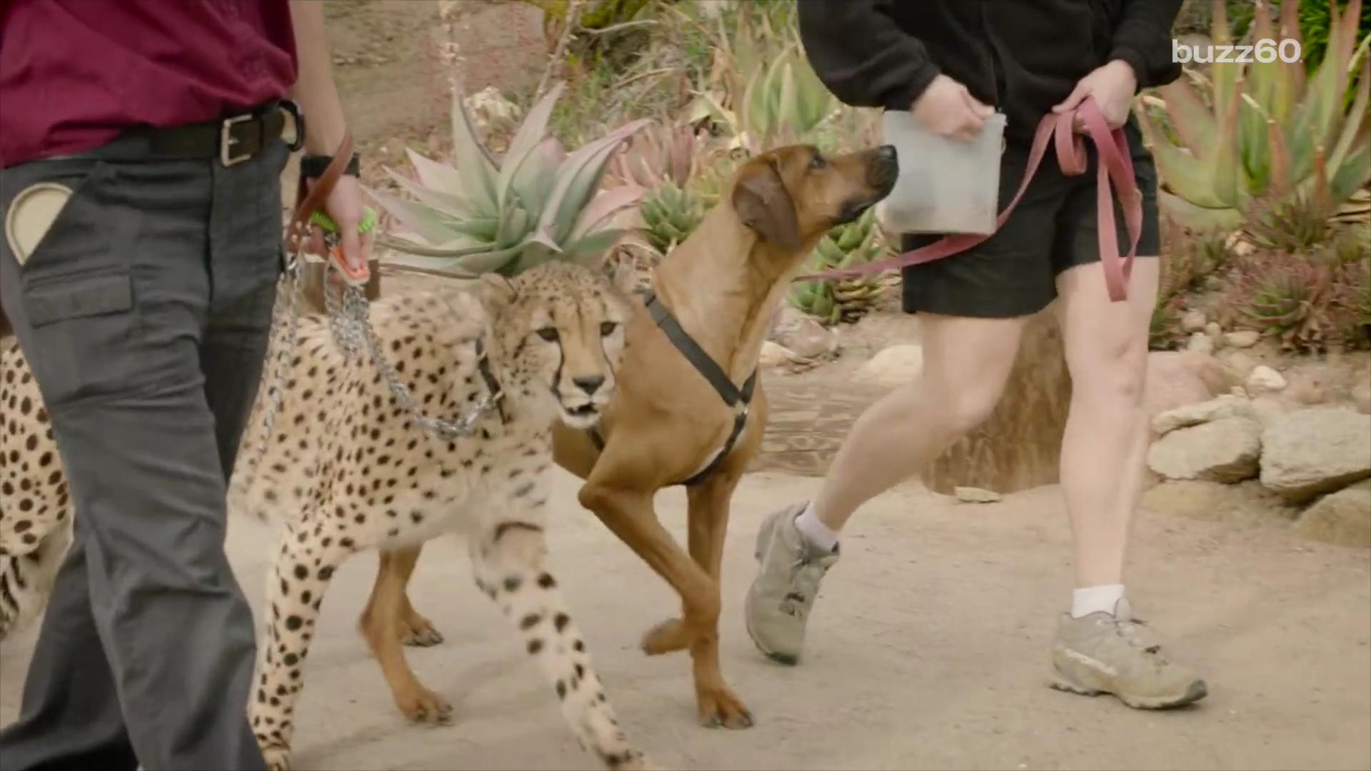 A cheetah and a dog are an unlikely pair but the San Diego Park Safari made it happen! In an amazing video, the two race to see who is faster. Keleigh Nealon (@keleighnealon) has the story!