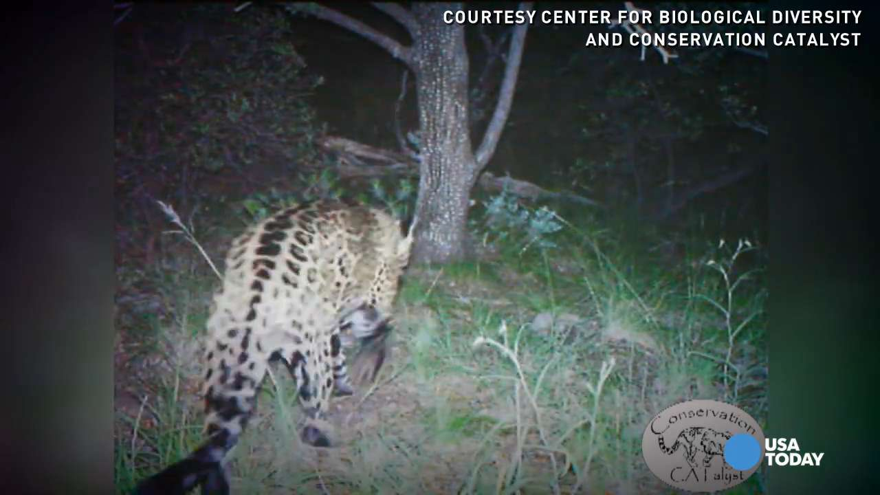 This video of the only known jaguar in the U.S. is part of an effort to track, preserve and monitor the endangered species.
