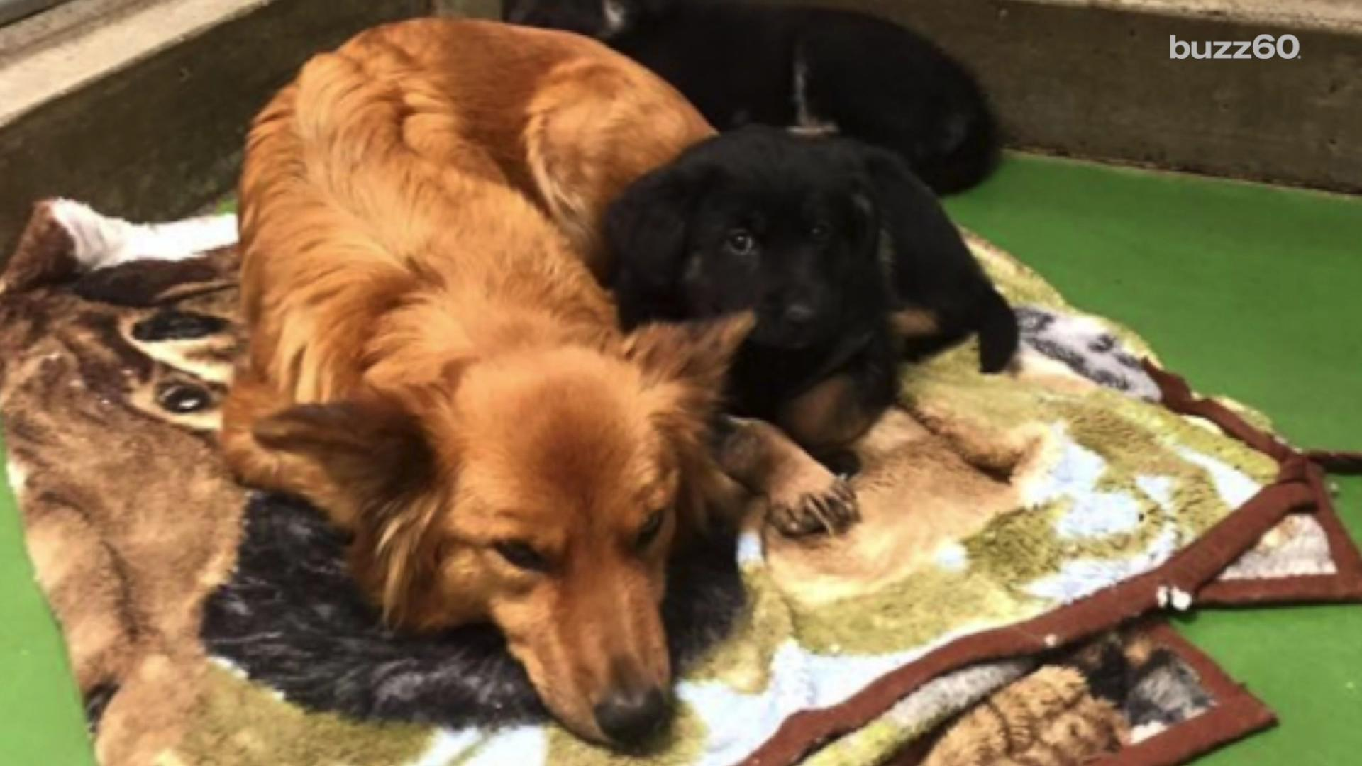 Puppy love caught on camera, dog sneaks out to comfort crying puppies