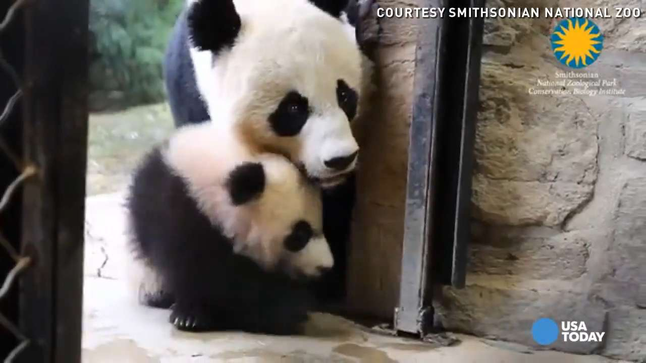 Panda Bei Bei tries to climb a tree, adorably tumbles