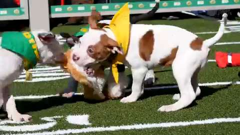 Adorable puppies playing football