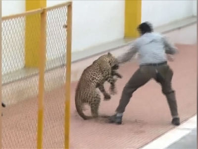 Leopard goes on the attack in Indian school