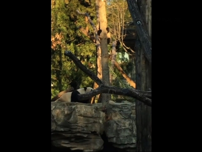 D.C.'s latest addition to the Smithsonian National Zoo got his first taste with climbing a tree on Monday. (Feb. 8)