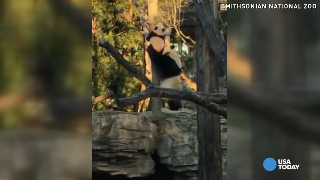 Six-month-old baby panda Bei Bei tries to climb a tree on his own, but his mom has to bail him out.