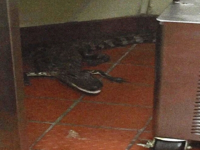 A Florida man was arrested on Monday and charged with assault with a deadly weapon without intent to kill after Florida Fish and Wildlife Conservation officials say he threw a 3.5-foot alligator through a Wendy's drive-thru window last October. (Feb