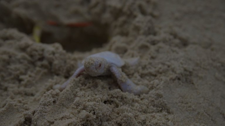 A rare albino green turtle hatches on Castaways Beach, Australia, and rushes to the ocean. Video provided by AFP