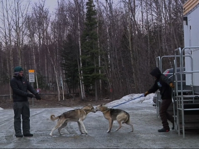 Low Snow Causes Havoc Again with Iditarod