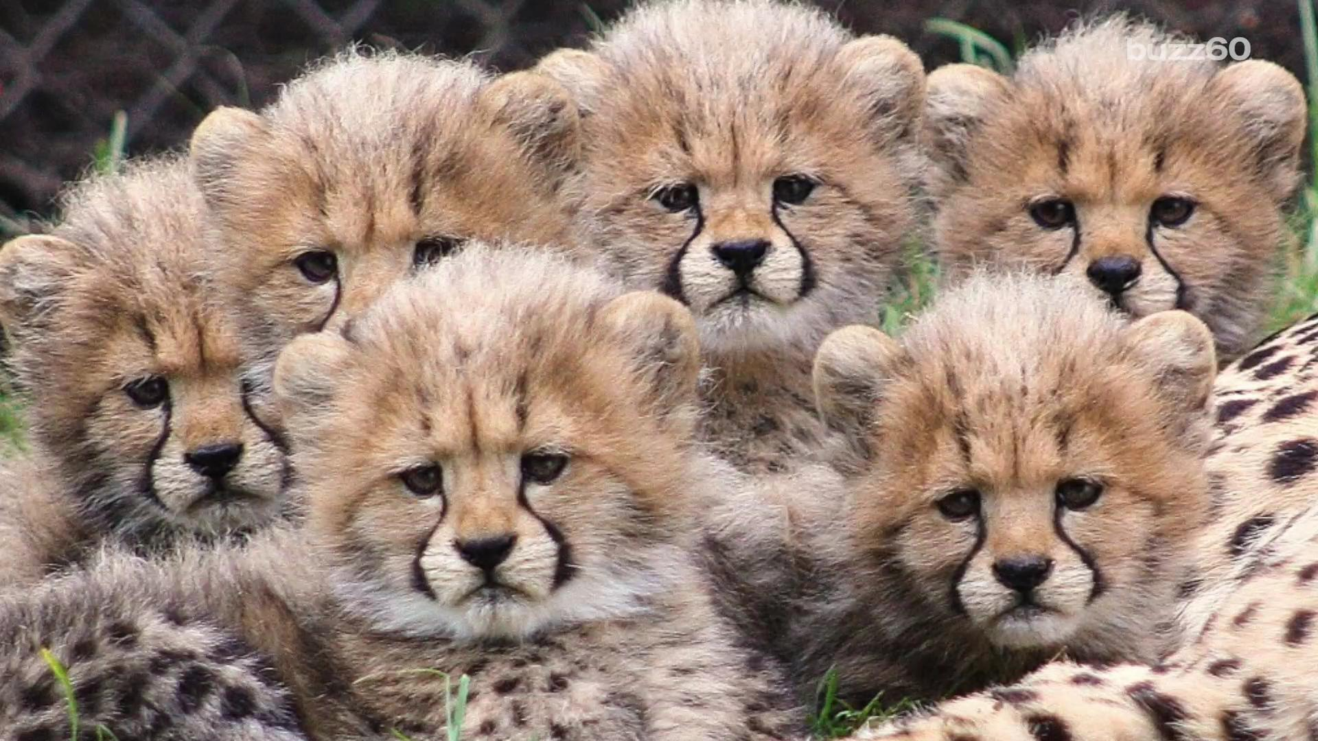 Video Of Six Cheetah Cubs Playing Will Make Your Day