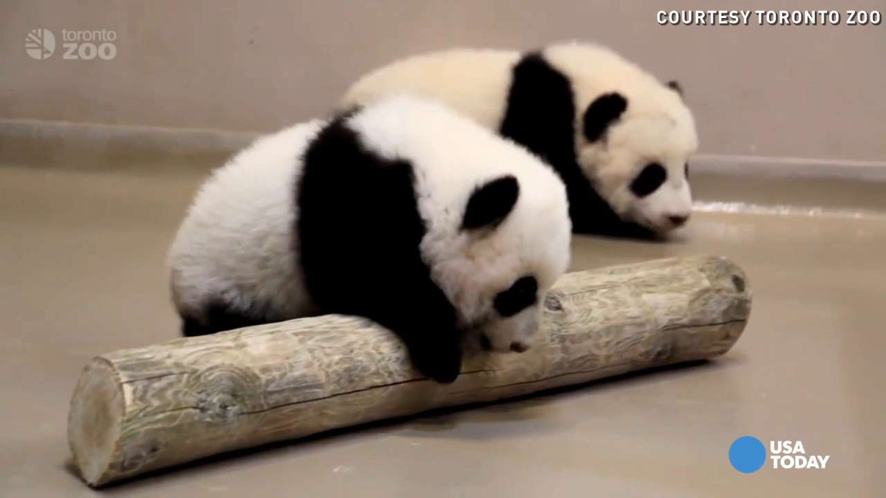 The Toronto Zoo's 4-month-old giant panda cubs are starting to get around on their own four feet.  For more videos, visit youtube.com/TorontoZooChannel.