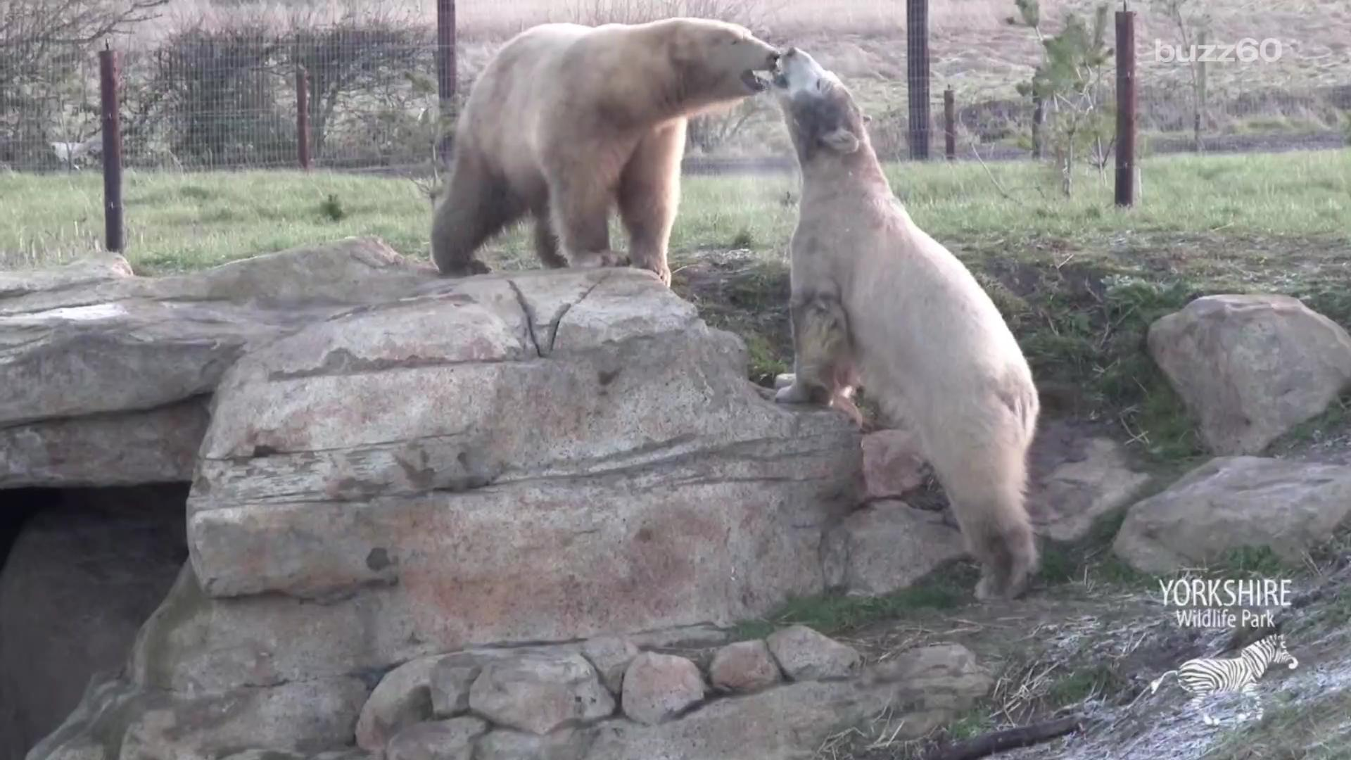 Polar bears meet and instantly become best friends