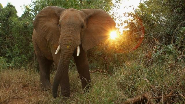 Report says African elephants being poached at alarming rate