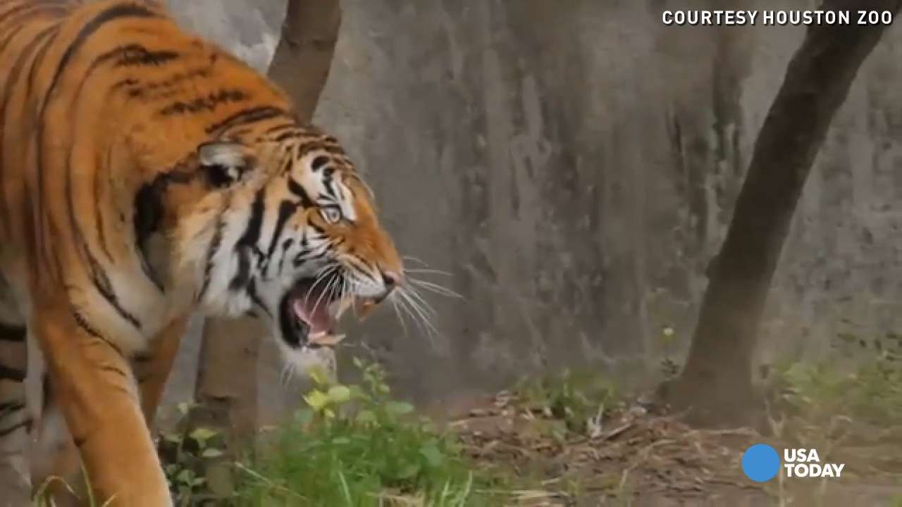 A new tiger made its debut Tuesday morning at the Houston Zoo. Berani is a 3-year-old, 280 lb. Malayan tiger.