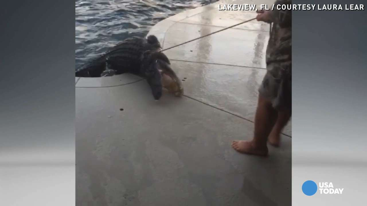 9-foot alligator pulled out of swimming pool