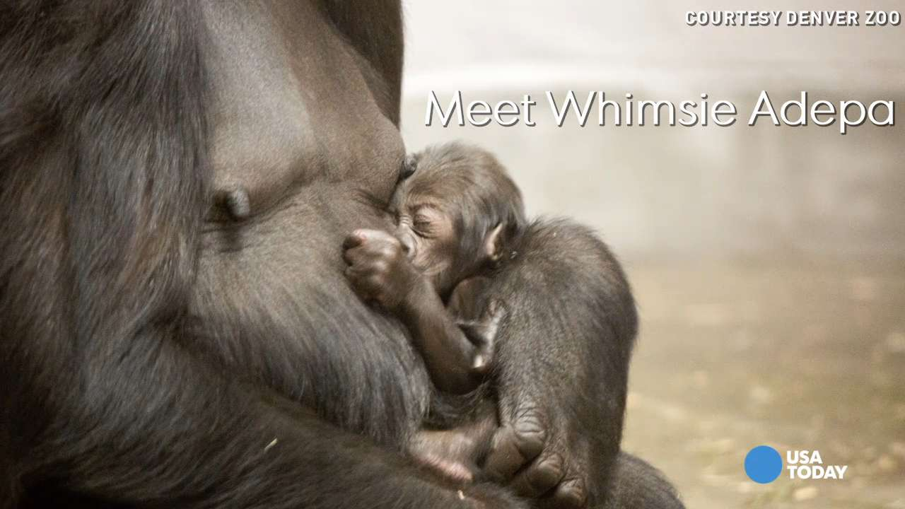 Meet Whimsie Adepa, the latest addition to the endangered western lowland gorilla family at the Denver Zoo.