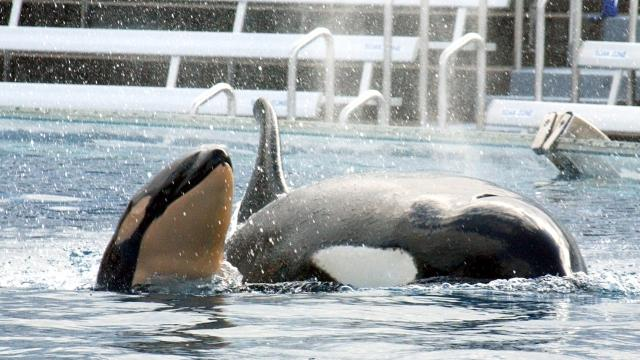 In this May 6, 2002, file photo, shows Takara, swimming with her new calf at SeaWorld in San Diego.