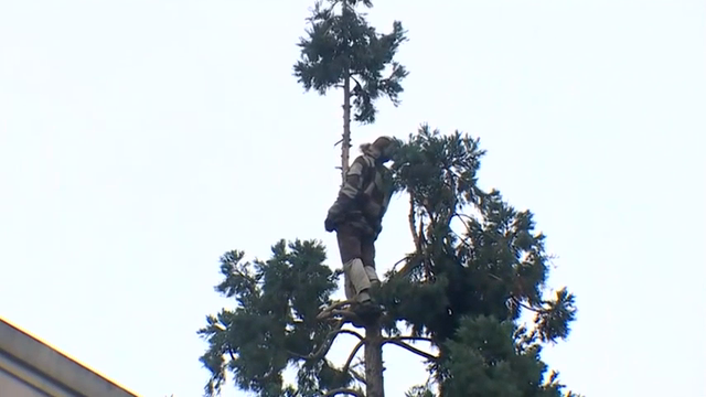 #ManInTree finally leaves Seattle sequoia