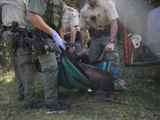 260-pound bear tranquilized at elementary school