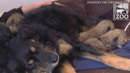 Mama cheetah dies after C-section, dog cares for 5 cubs