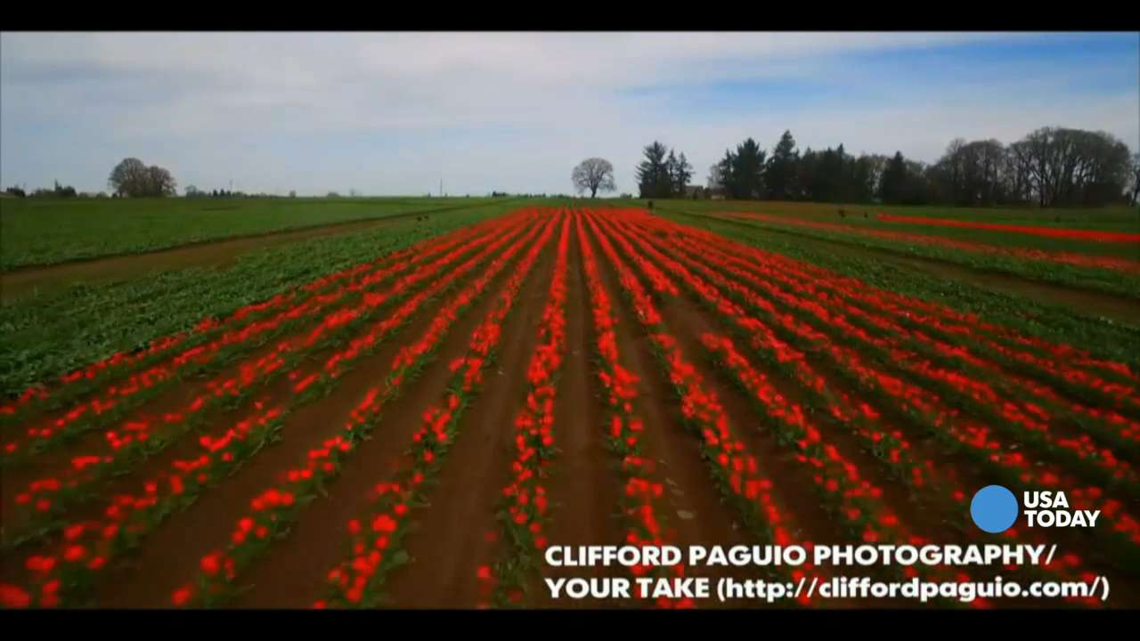 Fly over colorful fields of flowers at the Wooden Shoe Tulip Festival in Oregon. The spectacular drone footage was shot by Clifford Paguio Photography.