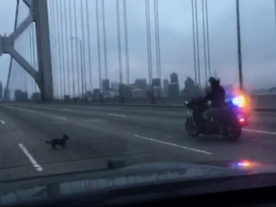 Raw: Chihuahua recovering after Bay Bridge chase