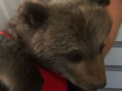 Raw: Baby Brown Bear Cub Found by Polish Rangers