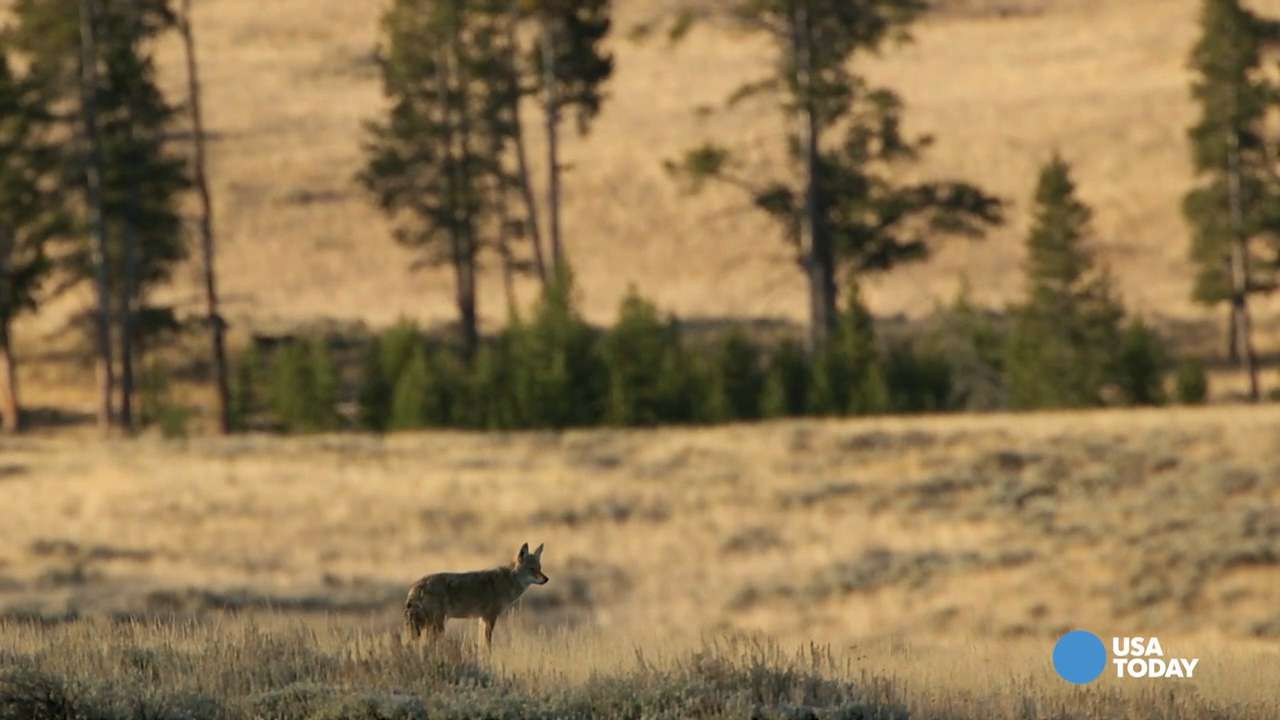 This is the 'best place in the world' to see wolves