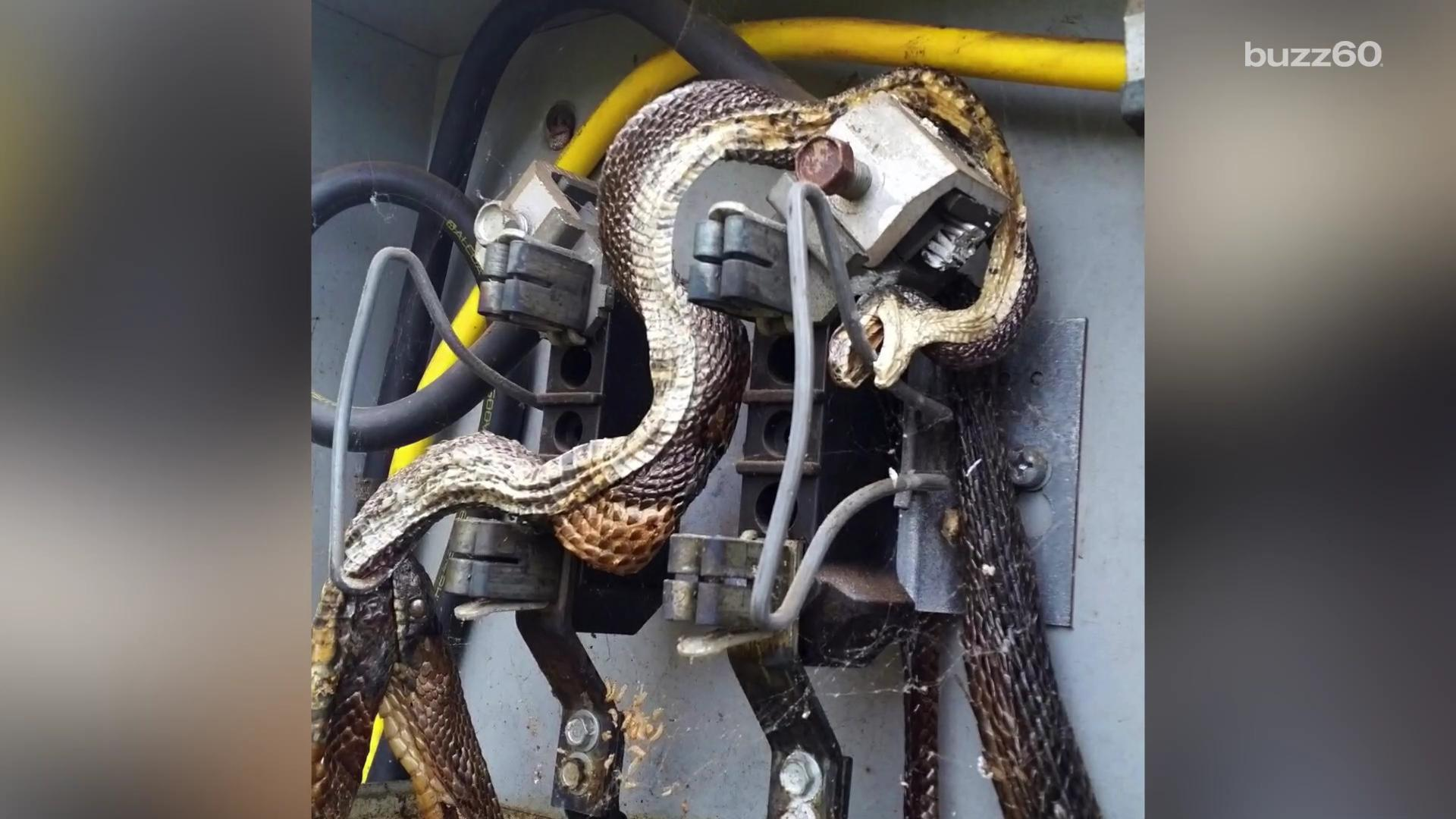Electrocuted snake found trying to eat another electrocuted snake