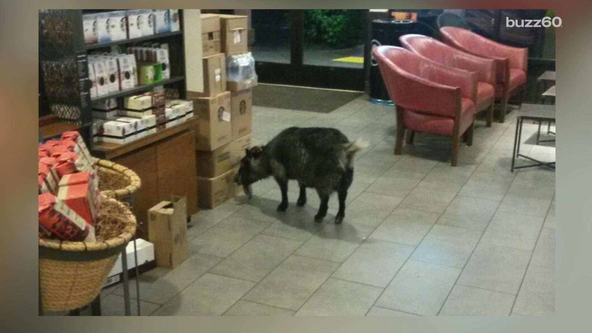 This is what happens when a goat visits a Starbucks for a caffeine fix
