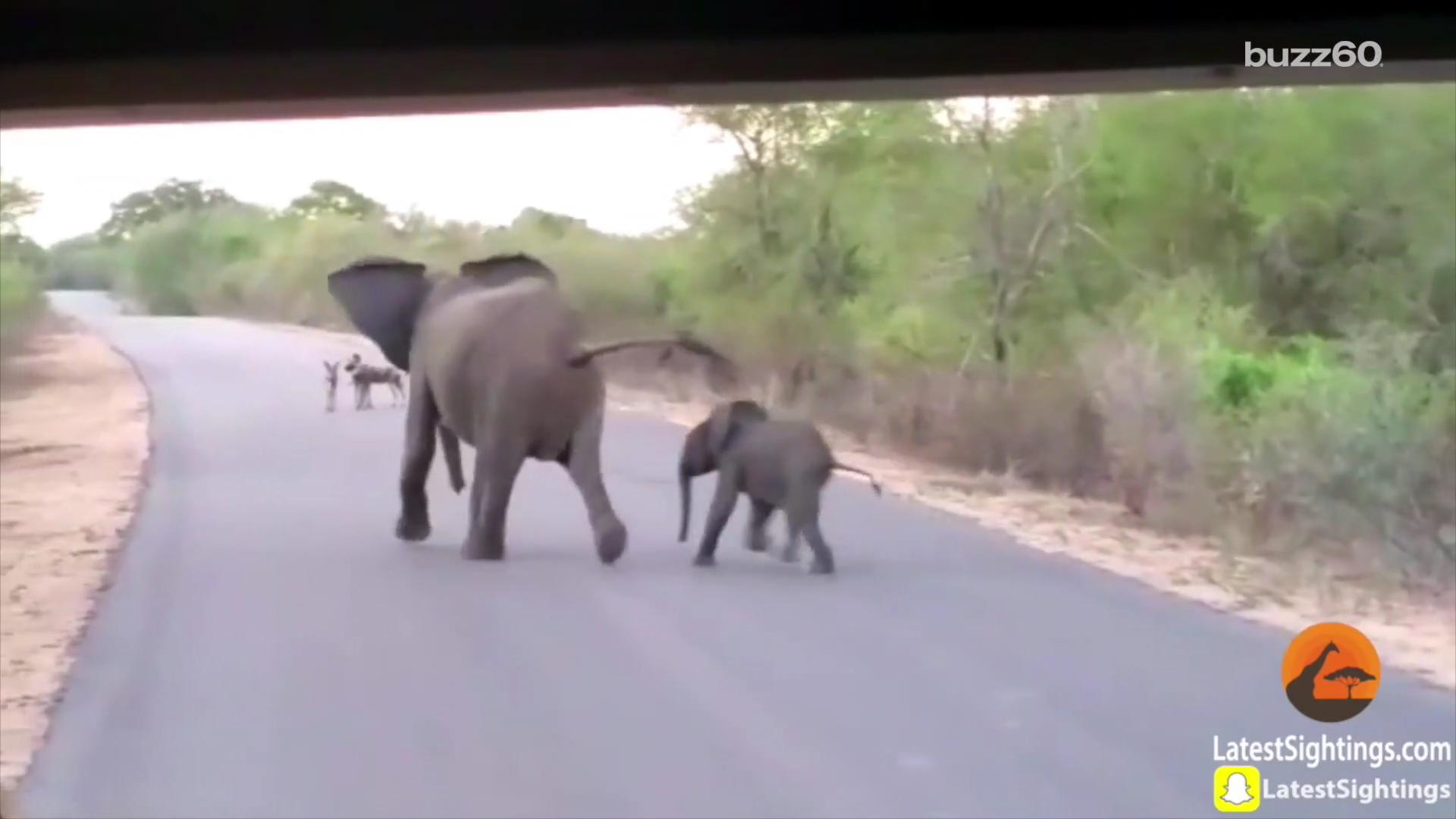 Elephant and her calf growl and chase off wild dogs