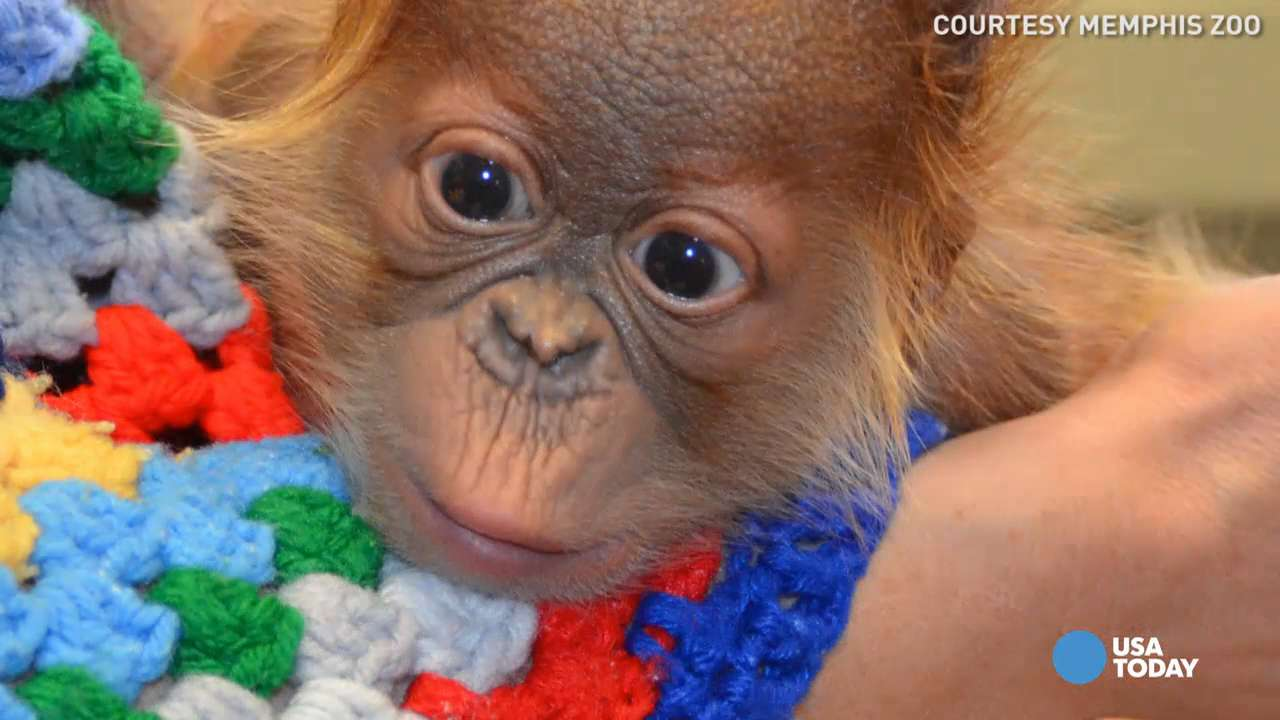 Adorable baby orangutan born via rare C-section