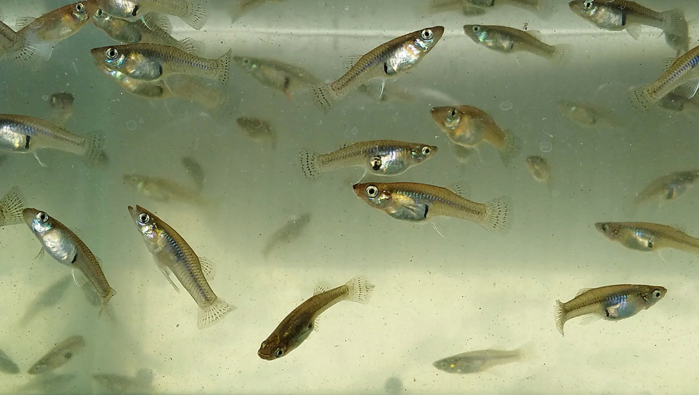 The Florida Keys Mosquito Control District is fighting the Zika Virus with a tiny fish called gambusia or mosquitofish. The gambusia eat the larvae of the Aedes aegypti mosquito which is the one most responsible for the spread of the Zika Virus.