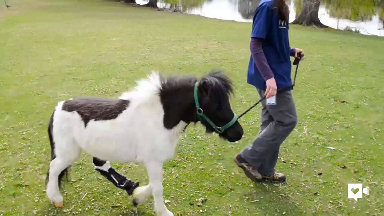 Mini horse gets his groove back with special hoof