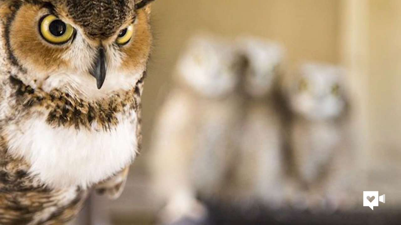 Orphaned baby owls find comfort in foster mom