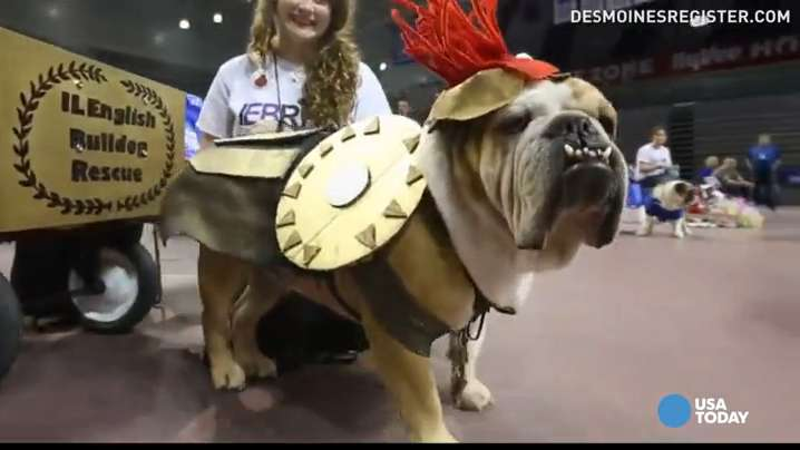 Which bulldog is the fairest of them all? Over 50 dogs from all over the Midwest showed off their best outfits for the 37th Beautiful Bulldog Contest in Iowa.