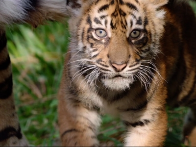 San Diego Zoo Unveils Three New Tiger Cubs