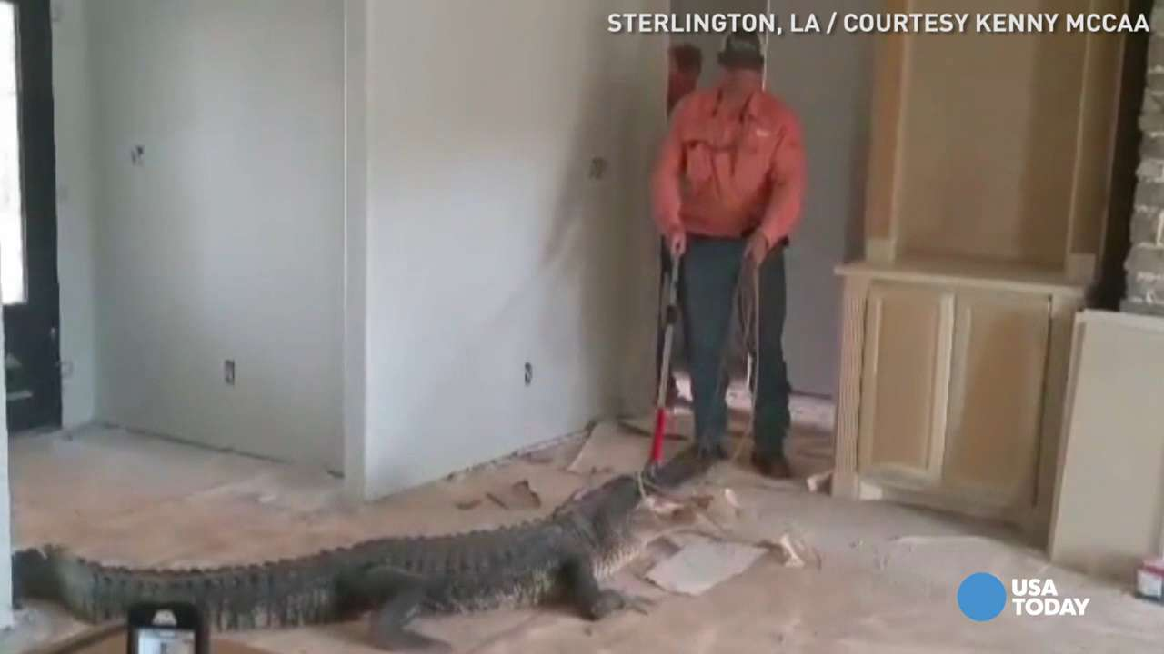 9-foot gator found on construction site puts up a fight