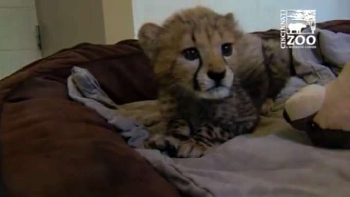 Orphaned cheetah cubs form special bond
