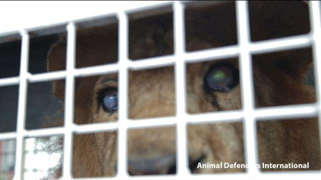 33 rescued lions flown from Peru to S. Africa