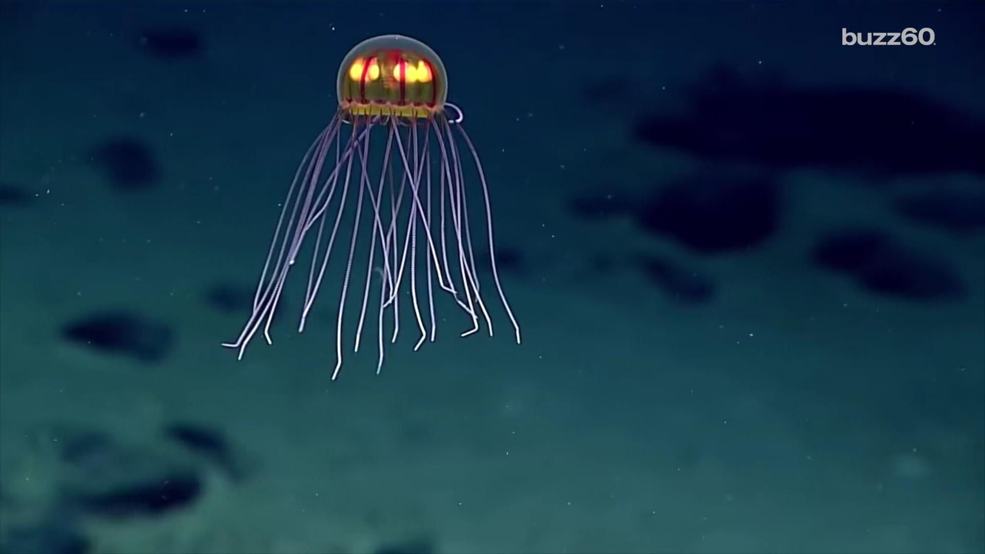 Newly Discovered Jellyfish Looks Like Alien Spacecraft