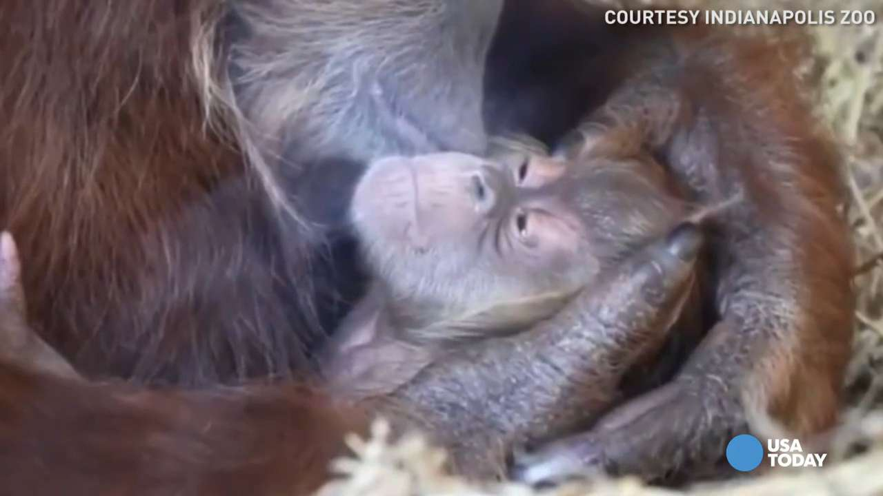 Facebook users give baby orangutan this special name