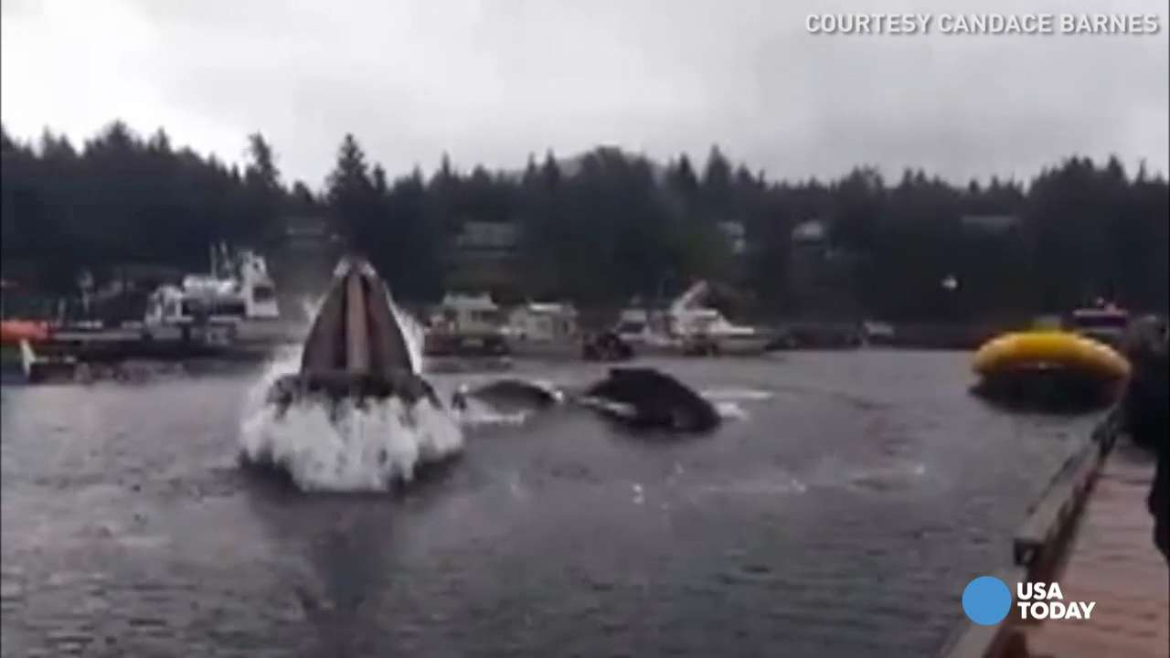 Giant whale pops up in tiny marina for a snack