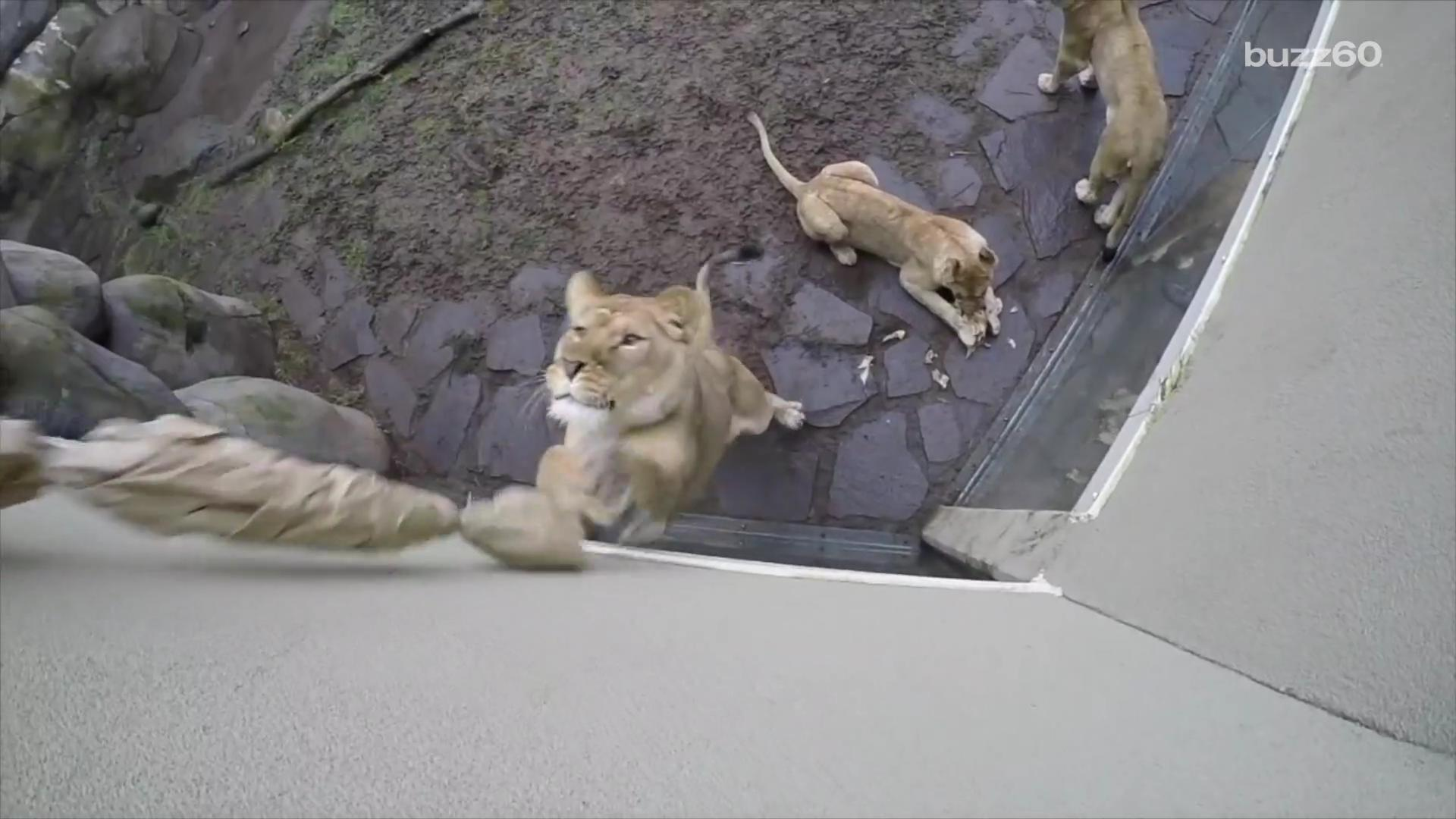 This Toy Proves Lions are Just Big House Cats