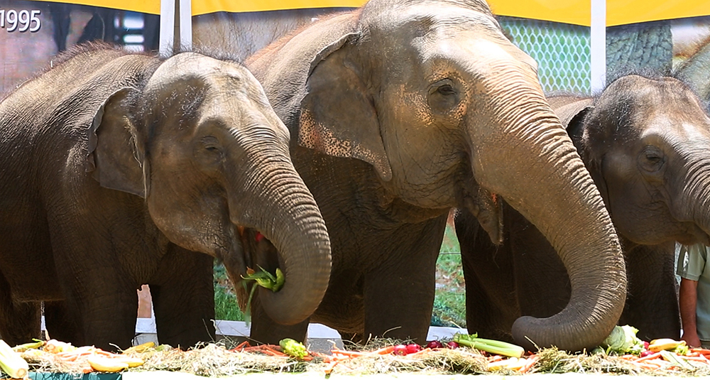 Life after the circus, elephants in retirement