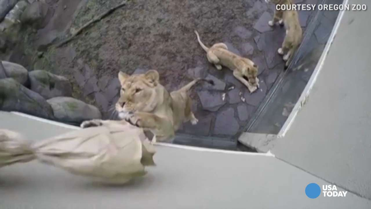 Take an exclusive look from the roof of the Oregon Zoo's lion exhibit as six lions jump up to play with an oversized cat toy.