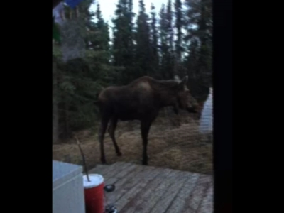 Watch moose play a tune on woman's wind chimes