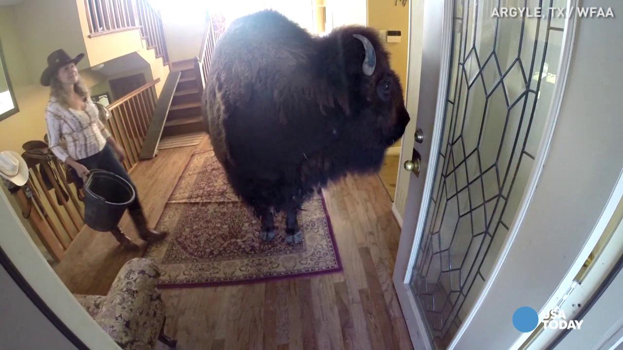 'Potty-trained' bison looking for a forever home