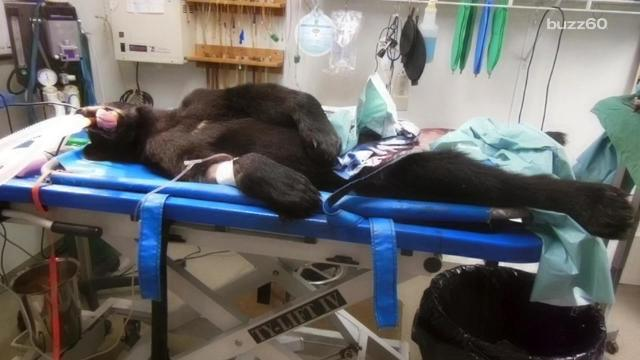 Paralyzed bear's remarkable recovery is incredible to watch