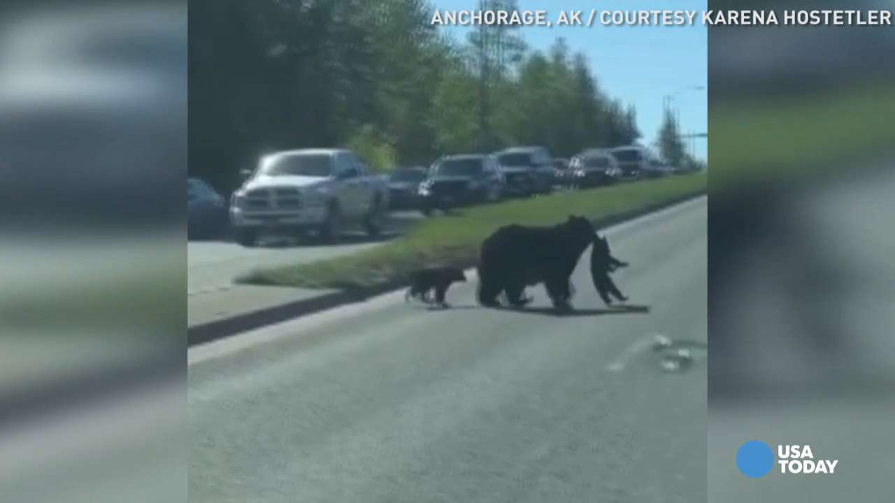 Mama bear carries cub with her mouth to cross busy road