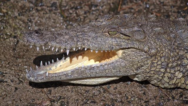 Man-eating Nile crocodiles found in Florida
