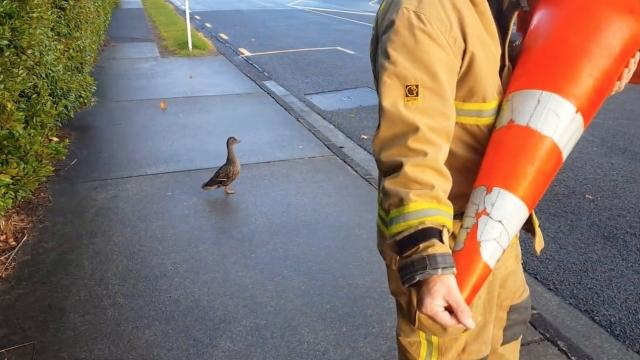 Firefighters rescue ducklings as mom anxiously waits
